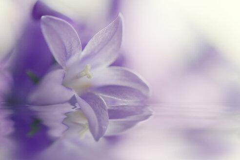Campanula flower, close up - BSTF000017