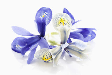 Dwarf iris flower on white background, close up - CSF018034