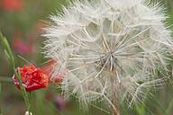 France, Dandelion in poppies field - CRF002356