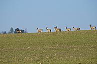 Germany, Hessen, Roe deer - MH000146