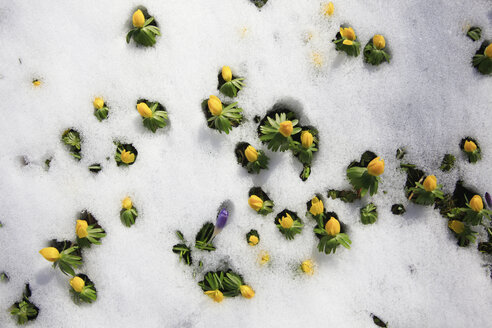 Germany, Winter aconite in snow - JTF000345
