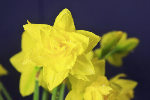 Daffodil flowers with waterdrops against blue background - JT000347