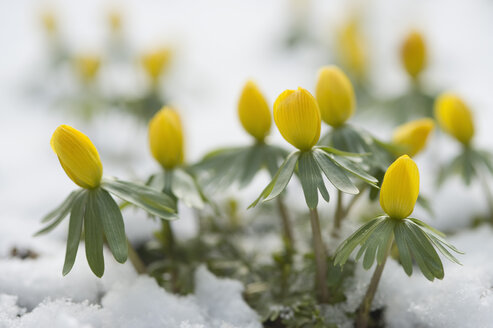 Germany, Bavaria, Winter aconite in snow - CRF002357