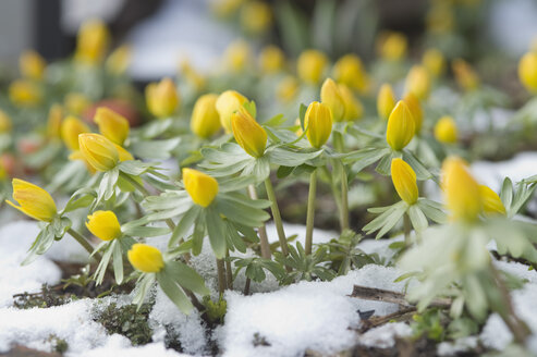 Germany, Bavaria, Winter aconite in snow - CRF002358