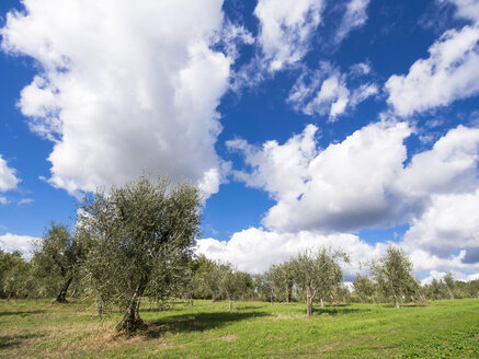 Italy, Olive trees - LFF000500