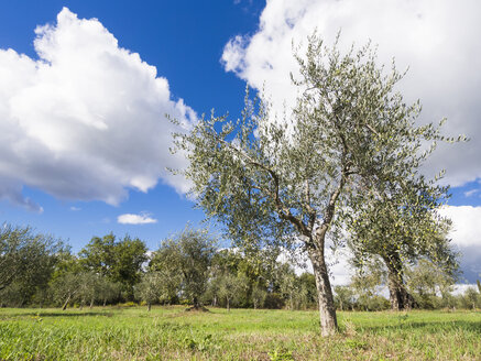 Italy, Olive trees - LFF000502