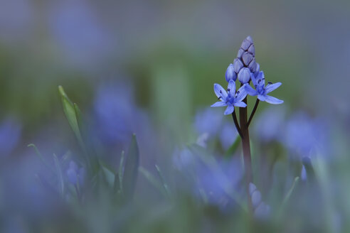 Germany, Baden Wuerttemberg, Scilla flower, close up - BST000035