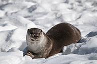 Germany, Brandenburg, European Otter eating fish in winter - CB000020