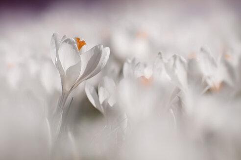 Germany, Baden Wuerttemberg, White Crocus flower, close up - BST000034