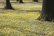 Germany, View of Winter Aconite and tree trunk - JTF000365
