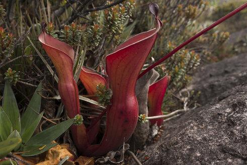Venezuela, Heliamphora nutans plants at Roraima Tepui - RM000586