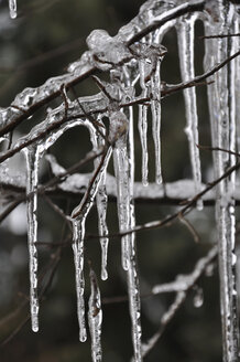 Germany, Bavaria, Icicles on branches - AXF000437