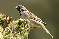 Germany, Hesse, Tree sparrow perching on tree trunk - SR000005
