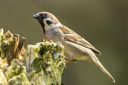 Germany, Hesse, Tree sparrow perching on tree trunk - SR000005