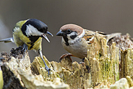 Germany, Hesse, Tree sparrow and Great tit perching on tree trunk - SR000011