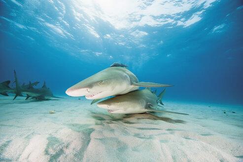 Bahamas, Lemon sharks in Atlantic ocean - GNF001247