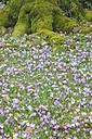 Germany, Crocus flowers - JTF000371