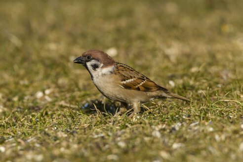 Germany, Hesse, Sparrow perching on grass - SR000026