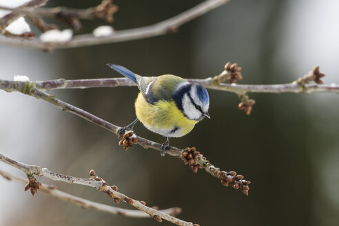 Germany, Hesse, Blue tit perching on branch - SRF000030