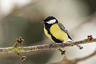 Germany, Hesse, Great tit perching on branch - SRF000031