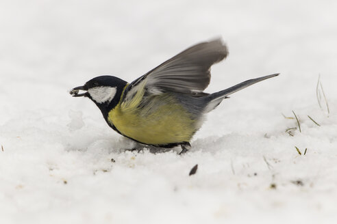 Germany, Hesse, Great tit perching on snow - SR000032