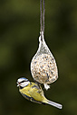 Germany, Hesse, Blue tit on bird feeder - SRF000052