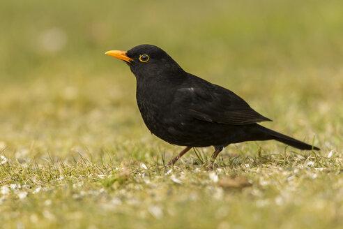 Germany, Hesse, Blackbird perching on grass - SR000045