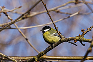 Germany, Hesse, Great tit perching on branch - SR000037