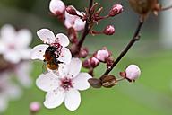 Germany,  Wuerzburg, Bumblebee on cherry blossom - NDF000389