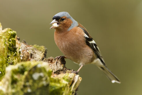 Germany, Hesse, Chaffinch perching on tree trunk - SRF000061