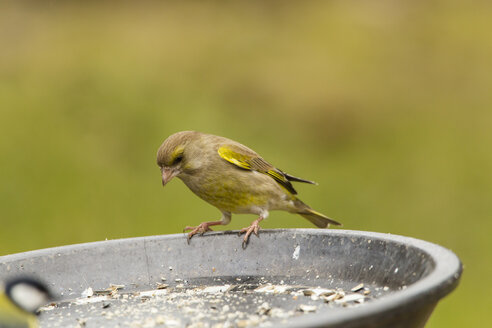 Germany, Hesse, Greenfinch perching on bird feeder - SRF000073
