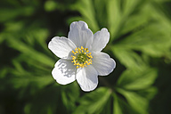 Germany, Wood Anemone flower, close up - JT000374