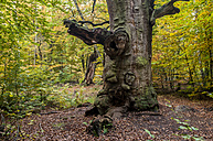 Germany, Hesse, Oak tree in autumn at Sababurg forest - CB000051