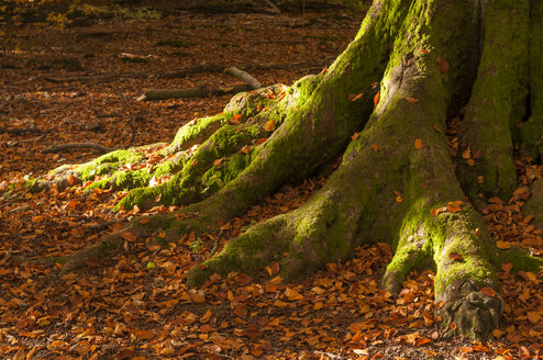 Germany, Hesse, Mossy trunk of old beech tree in autumn at Sababurg forest - CB000044