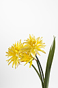 Yellow daffodil flowers against white background, close up - CSF018930