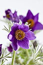Common pasque flowers on white background, close up - CSF018932