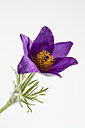 Common pasque flowers on white background, close up - CSF018914