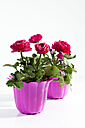 Potted plant of red buttercup flowers on white background, close up - CSF018911