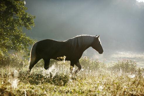 Germany, Baden Wuerttemberg, Black forest horse walking on grass - SLF000012