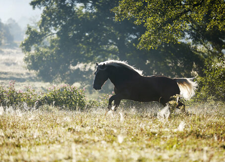 Germany, Baden Wuerttemberg, Black forest horse running on grass - SLF000013