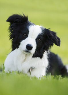 Germany, Baden Wuerttemberg, Border Collie dog on grass - SLF000017