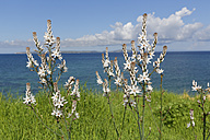 Turkey, View of Branched asphodel - SIEF003671