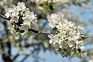 Germany, Baden Wuerttemberg, Blossom apple tree, close up - BSTF000046