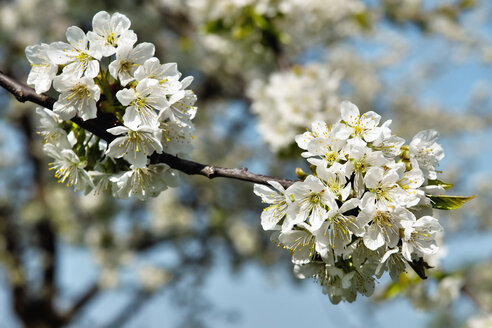 Germany, Baden Wuerttemberg, Blossom apple tree, close up - BSTF000046