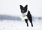 Germany, Baden Wuerttemberg, Border collie puppy jumping in snow - SLF000043