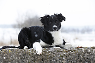 Germany,	Baden Wuerttemberg, Border collie puppy lying on rock - SLF000046