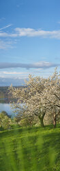 Germany, Bavaria, Cherry trees with Lake Constance over meadow - SH000685