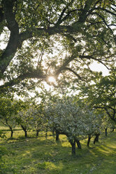Germany, Bavaria, Fruit trees in blossom with sun peeping through branches - SH000687