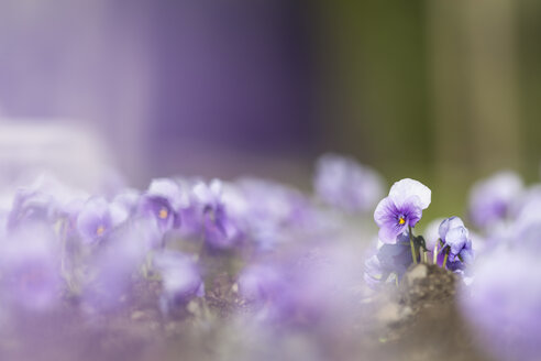 Germany, Hesse, Pansy flowers, close up - SRF000089