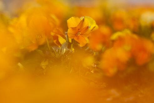 Germany, Hesse, Pansy flowers, close up - SRF000086